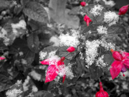 Pink flowers in snow by musicismylife2010