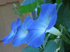 Morning Glories by Aurhia