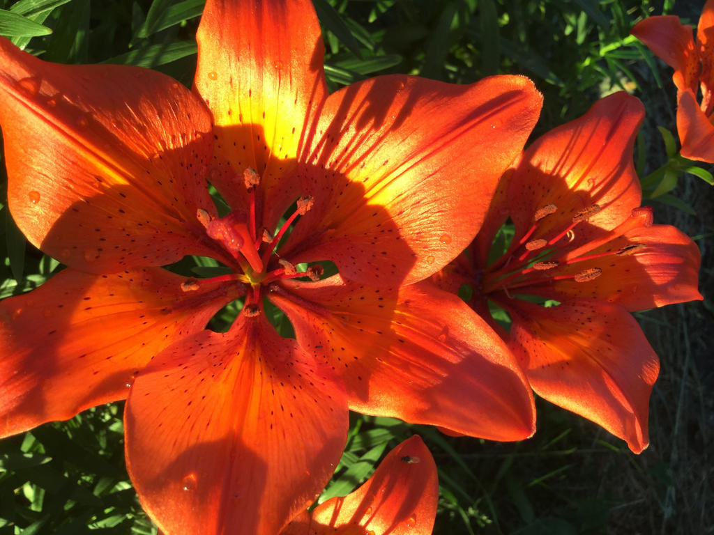 Tiger Lilies by JoyJinn