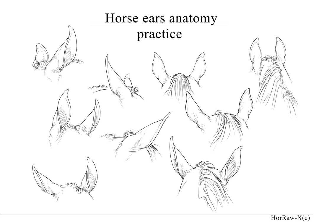 Horse Ears |anatomy practice| by HorRaw-X on DeviantArt