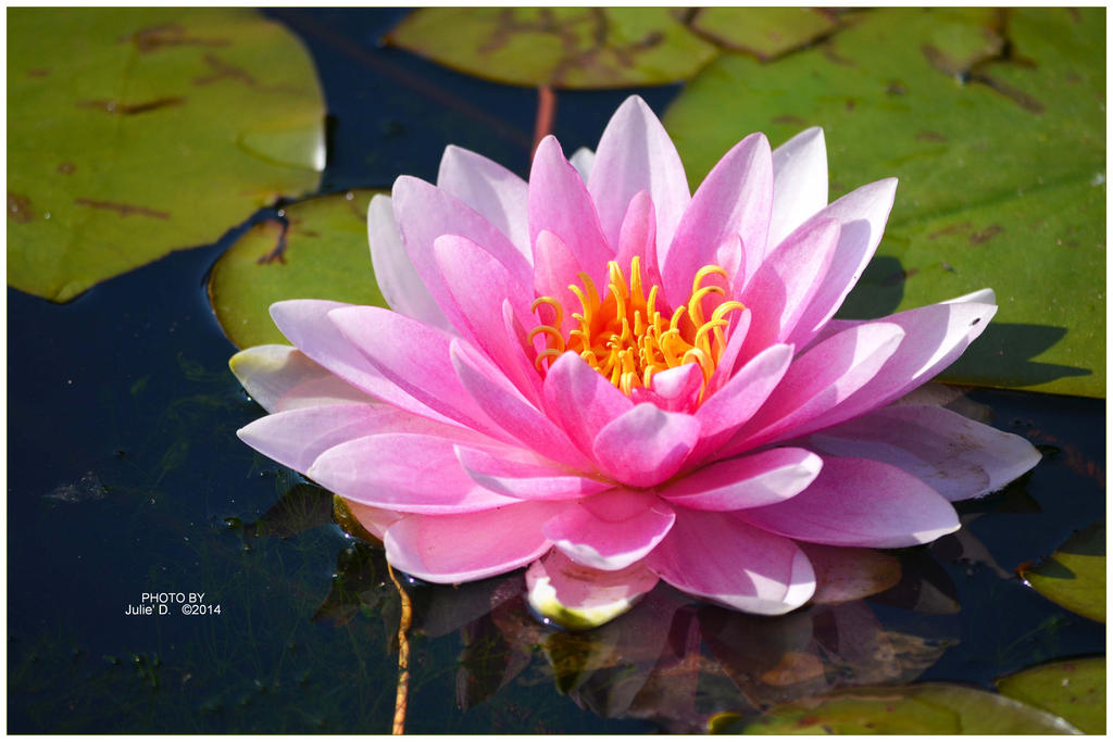 pink water lily by timelesscolors