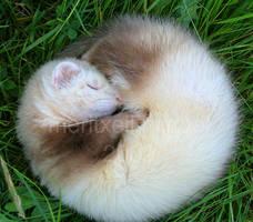 My ferret III by meritxell-photo