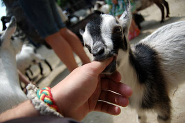 Kid goat by Hey-Bud-Joey