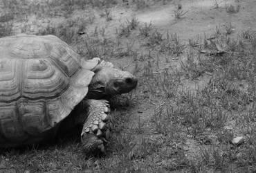 Turtle by Hey-Bud-Joey