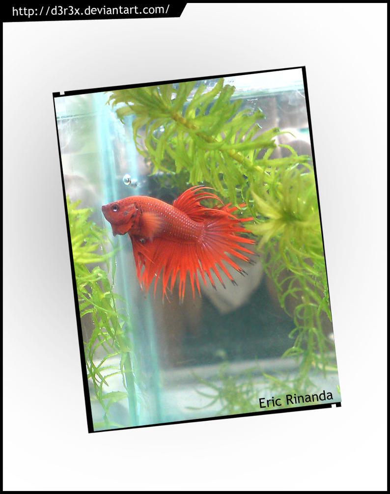 Dancing Fish_Red Cupang Serit by D3r3x