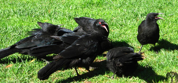 Deamon Choughs by Typthis by deviACT