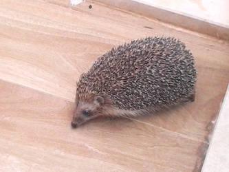 hi little hedgehog! by sutlusekersiz