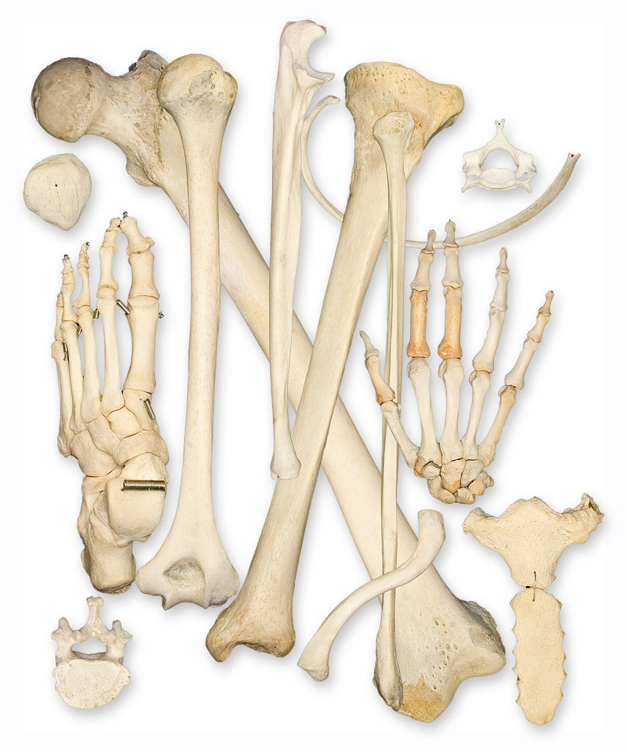 Real human skulls,and individual bones for sale by