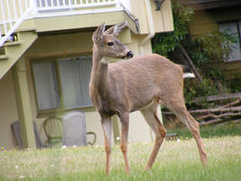 Deer 01 by Limited-Vision-Stock