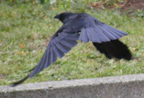 Crow Nr 2 by Limited-Vision-Stock
