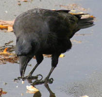 Crow Nr 8 by Limited-Vision-Stock