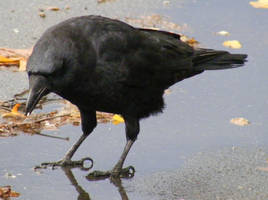 Crow Nr 9 by Limited-Vision-Stock