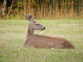 Deer 05 by Limited-Vision-Stock