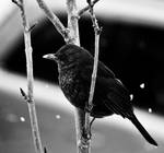 Pitch Black Bird by BWozniakPhotography