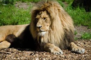 Lion by Electrokopf