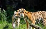 Tigers cuddle