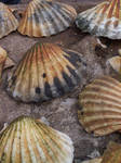 stock shells