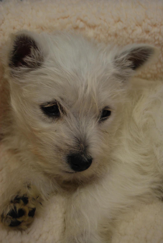 Puppy stock by Theshelfs