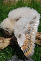 BARN OWL BABY STOCK 6 wing by Theshelfs