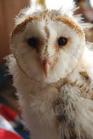 BARN OWL CLOSE UP 2 by Theshelfs