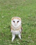 BARN OWL STOCK