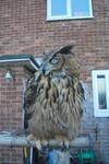 European Eagle Owl S T O C K