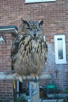 European Eagle Owl S T O C K by Theshelfs