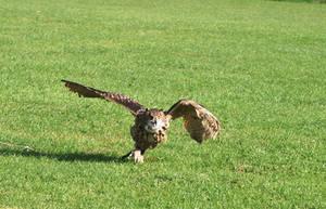 OWL IN FLIGHT STOCK
