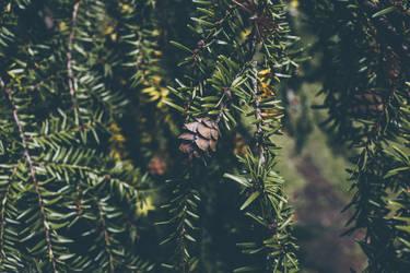 pine wallpaper by Prolite
