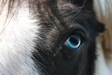 Piebald gypsy horse. by Kestenan