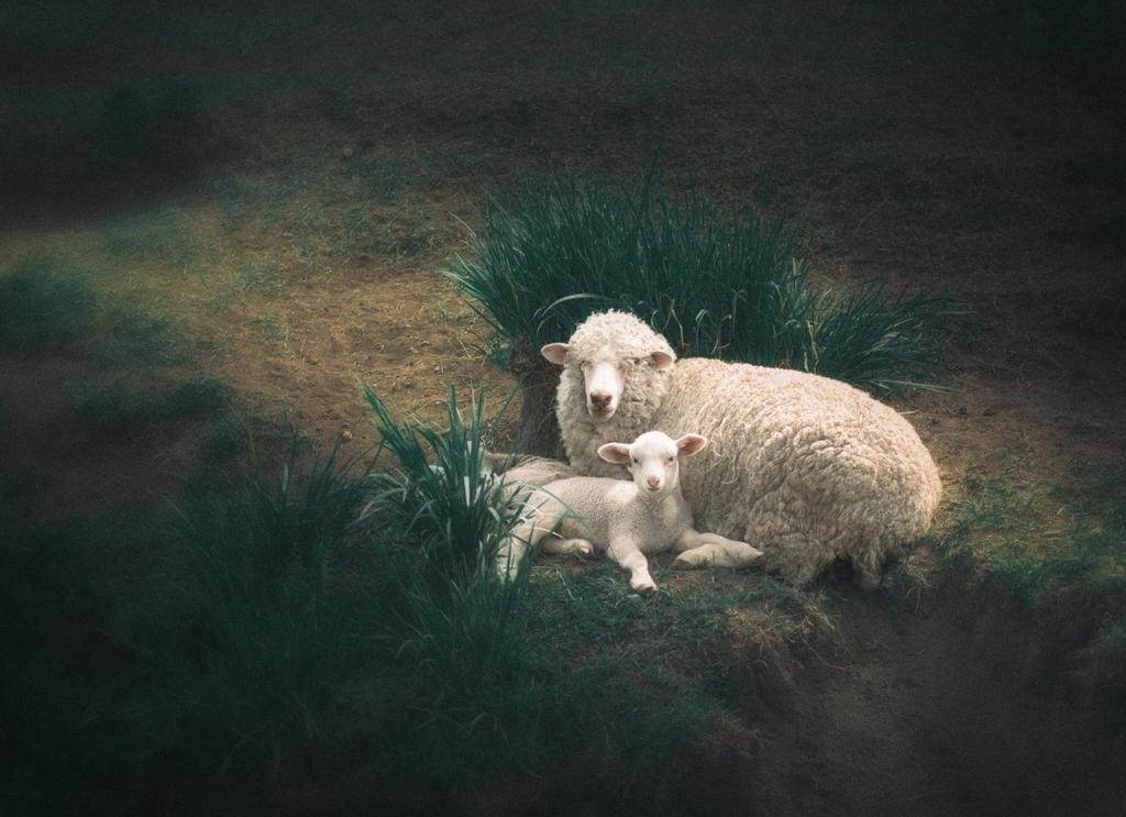 Lambs by Yanagl