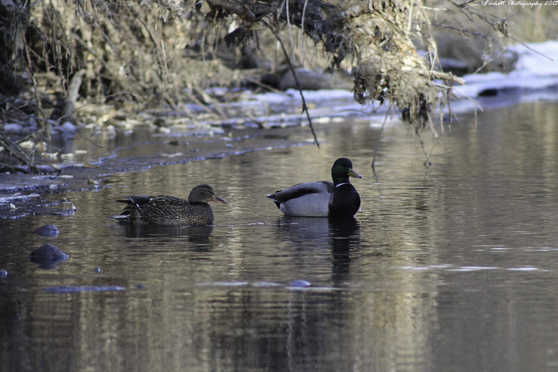 Tranquil Duckies by dlockett17