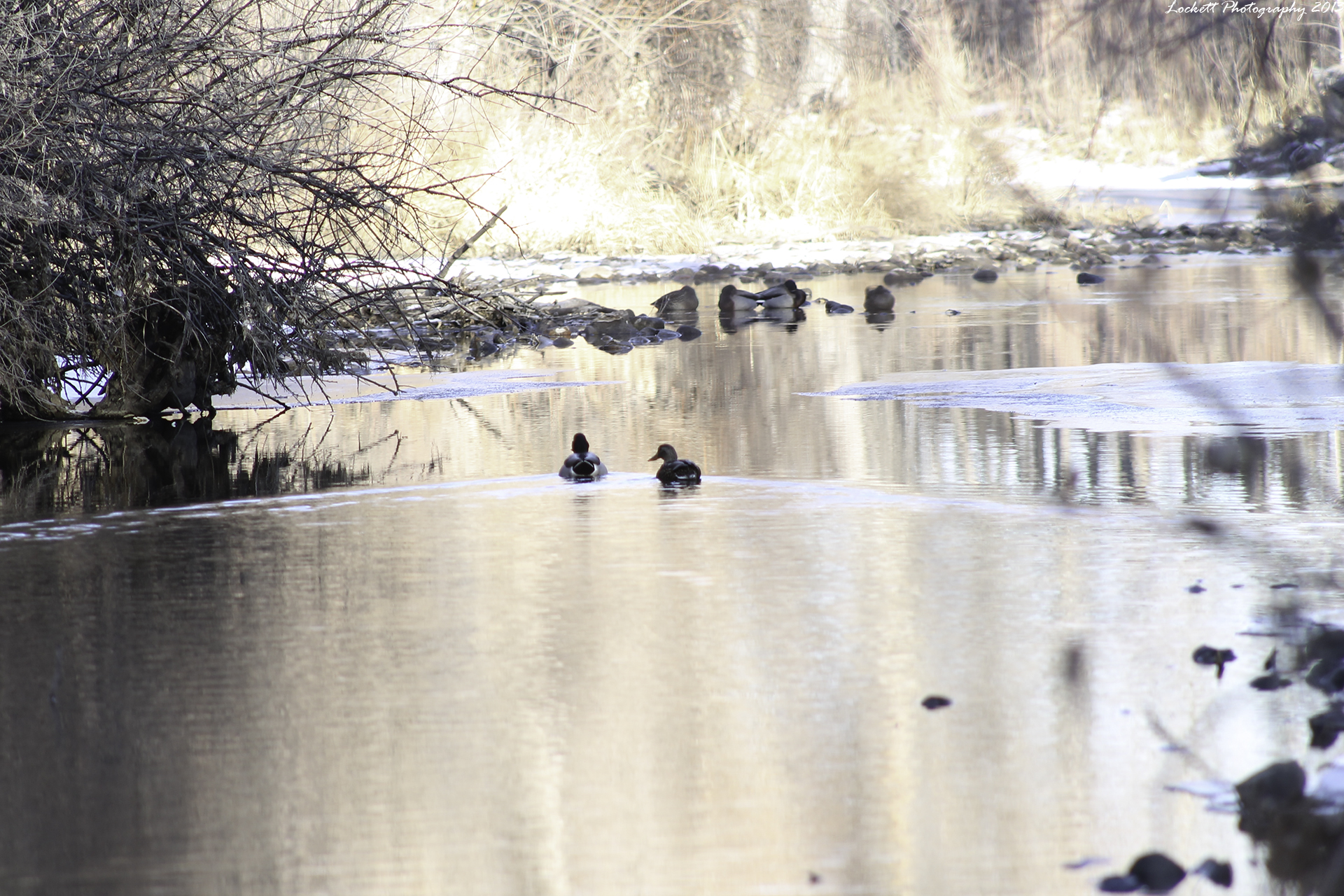 Tranquil Duckies on the move by dlockett17