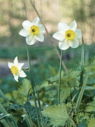 Poet's Daffodil (Narcissus poeticus)