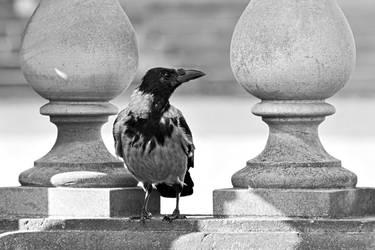 Carrion crow (grey-black Polymorphism)