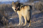Grey Wolf of Yellowstone by Iamidaho