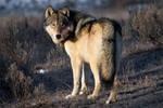 Grey Wolf of Yellowstone b by Iamidaho