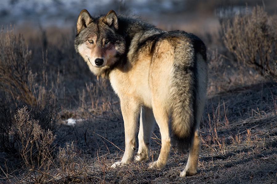 Grey Wolf of Yellowstone b