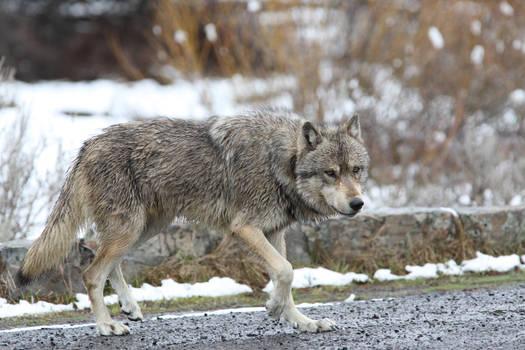Stock Image: Grey Wolf
