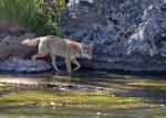 Riverside Coyote