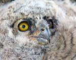 Great Horned Owlet by Iamidaho