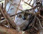 Great Horn Owlet 2 by Iamidaho