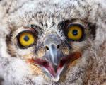 owlet 3 by Iamidaho