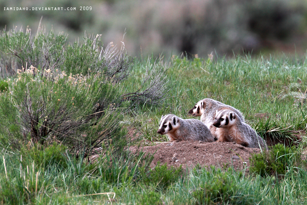 Badger Cubs by Iamidaho