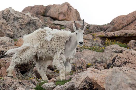 Mount Evans Mountain Goat