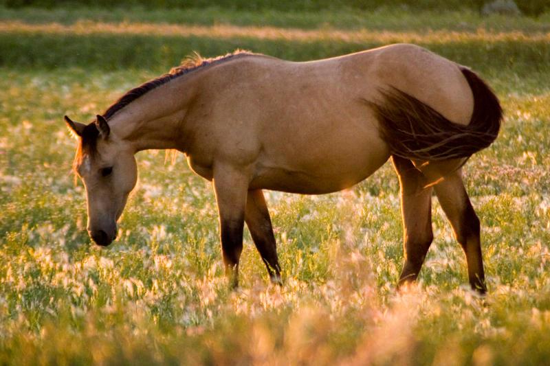 ASİL HAYVANLAR ATLAR Horse_at_Sunset_by_Iamidaho