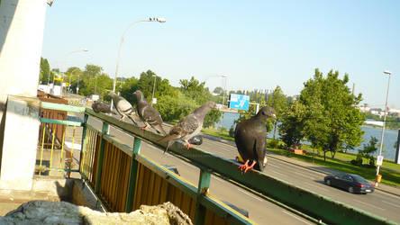 Pidgeons