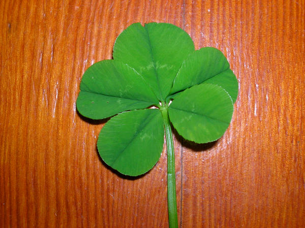 Are 5 Leaf Clovers Bad Luck