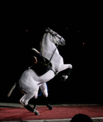 Another Lipizzaner