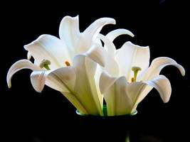 Lily Stock II by Moonchilde-Stock